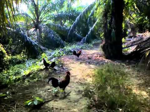 Pikat Ayam Hutan 5 Feb 2014