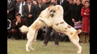 getlinkyoutube.com-ALABAY İTLER. TURKMEN DOGS