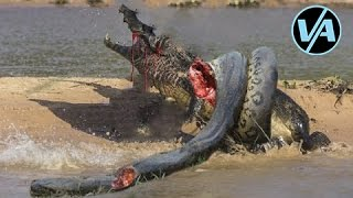 getlinkyoutube.com-Video Aneh Ular Anaconda Makan Buaya Nyata! Melawan Ular Python Nyata!