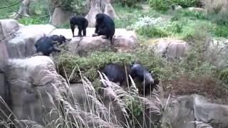 getlinkyoutube.com-Primates attack raccoon in St. Louis zoo enclosure