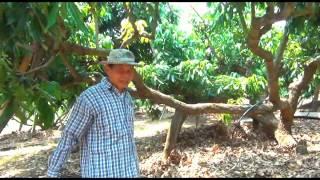 getlinkyoutube.com-มะม่วง ตอน สวนมะม่วงน้ำดอกไม้สีทองอายุ 3 ปี ตัดแต่งกิ่งทรงฝาชีหงาย