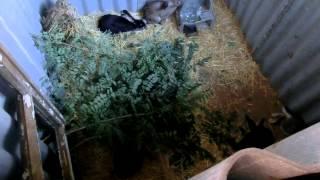 getlinkyoutube.com-Строим яму для кроликов. Часть №3. Запуск кроликов
