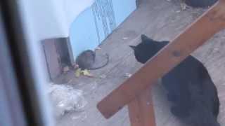 Big Cat Vs. Big Rat.