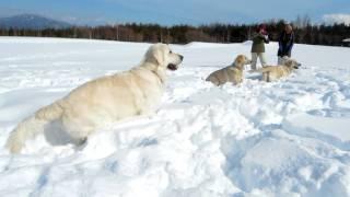 getlinkyoutube.com-英国ゴールデンレトリバー、8姉妹兄弟の雪遊び(鹿フン公園にて)①