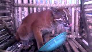 getlinkyoutube.com-KUCING HUTAN.mp4