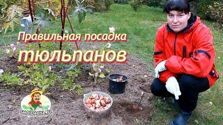 getlinkyoutube.com-Правильная посадка тюльпанов