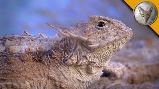 Regal Horned Lizard - How Coyote Got His Name! width=