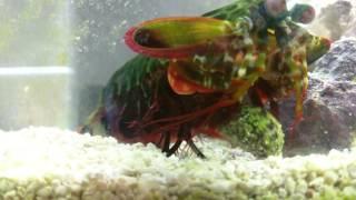 Mantis shrimp destroys a snail