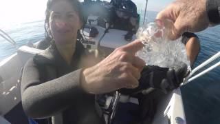 Prise en main du Tunicier, la plus grande des salpes..( Téthys Vagina )