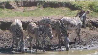 Beautiful herd of Grevy's zebras at Africa Watering Hole cam. 23 January 2017