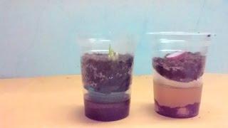 getlinkyoutube.com-Cara unik menanam bawang merah secara hidroponik menggunakan media ampas teh
