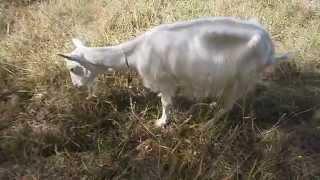 Как кормить коз