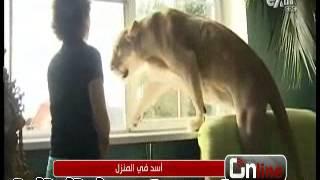 getlinkyoutube.com-شاهد نتيجة تربية أسد في المنزل