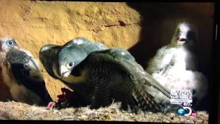 getlinkyoutube.com-A Peregrine Falcon - Protecting Her Nest