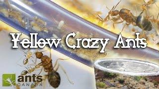 getlinkyoutube.com-ANT WAR or SUPERCOLONY: New Yellow Crazy Ants