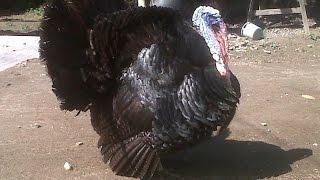 Ayam Kalkun Berbagai Jenis