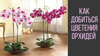 getlinkyoutube.com-Как Добиться Цветения Орхидей
