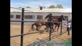 getlinkyoutube.com-Ипподром: Лошади дерутся г. Оренбург
