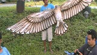 getlinkyoutube.com-Eagle Kite made in the Philippines