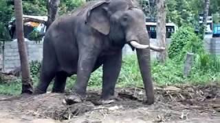 getlinkyoutube.com-Star Elephants /Kerala elephants /Asian elephants /pooram elephants/Domestic elephants