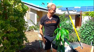 getlinkyoutube.com-The World's Most Cold Tolerant Mango Tree - Planting an Antonio Mango Tree