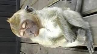 getlinkyoutube.com-Monyet Ngantuk_Lucu.mpg
