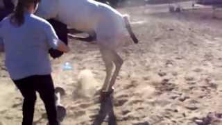 getlinkyoutube.com-SI Prince Ali Shiraz /Semen Collection of our stallion Shiraz done by NE Breeders services.