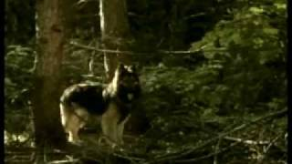 getlinkyoutube.com-Northern Passage (Bari or Baree) Dog Movie starring a Shiloh Shepherd