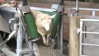 getlinkyoutube.com-Sheep Conveyor