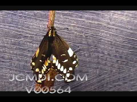 Time Lapse Indra Swallowtail Butterfly emerges- expands wing