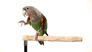 getlinkyoutube.com-How to Teach Your Parrot to Wave | Parrot Training