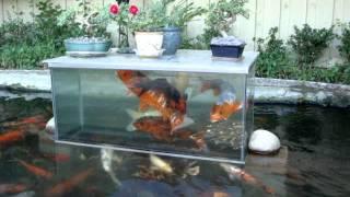 getlinkyoutube.com-Koi fish play in fish tank