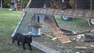 getlinkyoutube.com-The Best Chicken Tractor.
