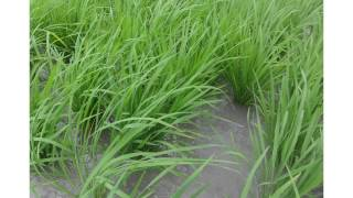 getlinkyoutube.com-System of Rice Intensification (SRI)  FARM IN ZARRAGA ILOILO