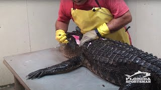 getlinkyoutube.com-How to Clean, Fillet, Debone and Skin an Alligator
