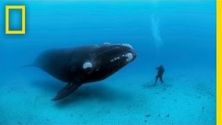 getlinkyoutube.com-Diving with Whales | Nat Geo Live