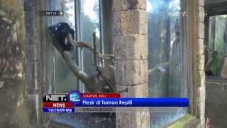 getlinkyoutube.com-NET12 - Reptil langka di ambang kepunahan di Bali