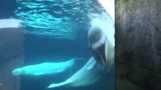 getlinkyoutube.com-Hangin out with the Beluga Whales {Stout Home Movies 2015: Mystic Aquarium}