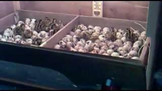 getlinkyoutube.com-mesin penetasan pelbagai telur (inkubator) 1/2