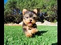 Eve the TEACUP Yorkshire Terrier Puppy for Sale Los Angeles
