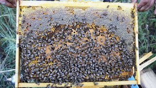 getlinkyoutube.com-Verificare, hranire si extindere roiuri albine [9 septembrie, 2015]