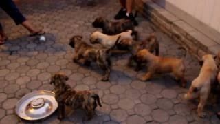 Bravo Kennels Breeding between Rudi and Nay-Na  - Rudi and Nay-Na's Pups at 7 weeks and 5 days old