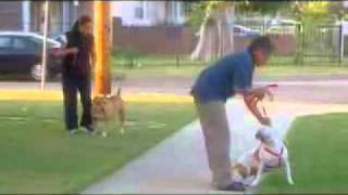 getlinkyoutube.com-el encantador de perros-pitbull emily.flv