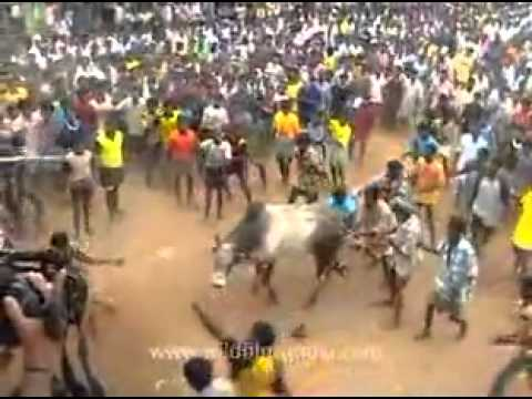 Bull Fighting Mdv 622 11 Flv