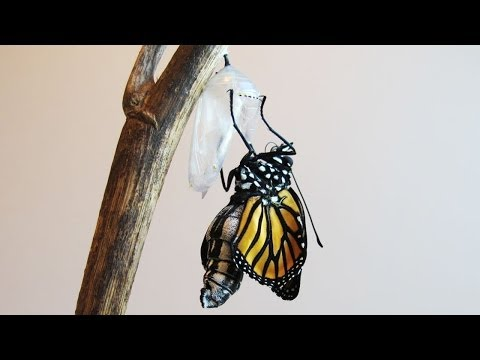 A Caterpillar Transforms Into A Monarch Butterfly