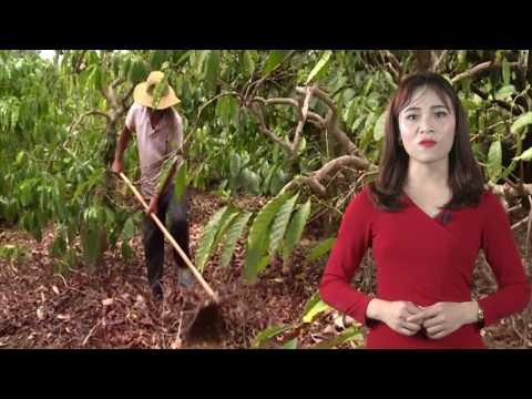 Bản tin Tiêu Điểm Số 2- Phú Yên : Xóa hàng trăm hecta rừng để… nuôi bò