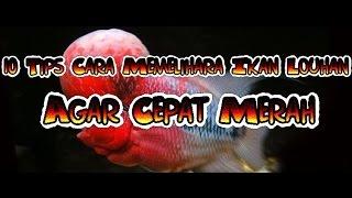 getlinkyoutube.com-10 Tips Cara Memelihara Ikan Louhan Agar Cepat Merah