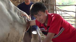 getlinkyoutube.com-ตรวจท้องวัวก่อนวัวออกลูก
