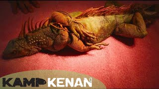 Tortured Green Iguana Rescue : Kamp Kenan S3 Episode 36