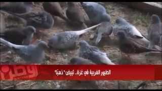 """getlinkyoutube.com-الطيور الغربية في غزة.. تبيض """"ذهبًا"""""""